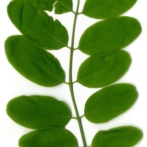 Photographie n°154339 du taxon Robinia pseudoacacia L.