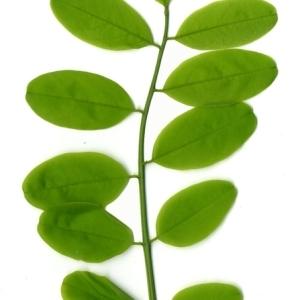 Photographie n°154340 du taxon Robinia pseudoacacia L.