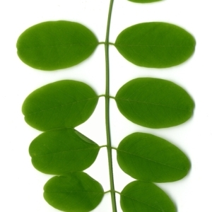 Photographie n°154341 du taxon Robinia pseudoacacia L.