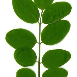Photographie n°154342 du taxon Robinia pseudoacacia L.