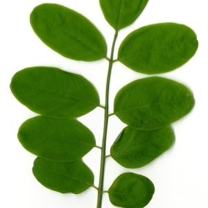 Photographie n°154343 du taxon Robinia pseudoacacia L.