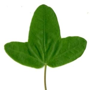Photographie n°154373 du taxon Acer monspessulanum L. [1753]