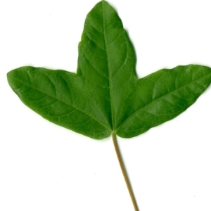 Photographie n°154374 du taxon Acer monspessulanum L. [1753]