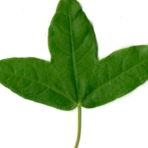 Photographie n°154375 du taxon Acer monspessulanum L. [1753]