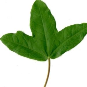 Photographie n°154376 du taxon Acer monspessulanum L. [1753]