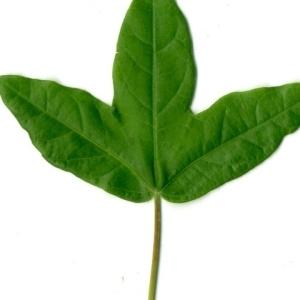 Photographie n°154377 du taxon Acer monspessulanum L. [1753]