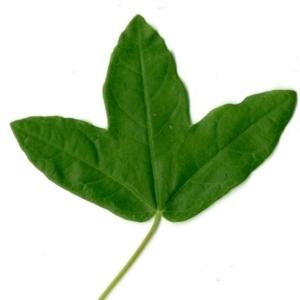 Photographie n°154380 du taxon Acer monspessulanum L. [1753]