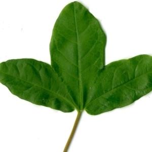 Photographie n°154381 du taxon Acer monspessulanum L. [1753]