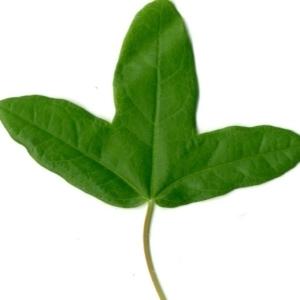 Photographie n°154382 du taxon Acer monspessulanum L. [1753]