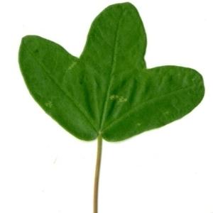 Photographie n°154383 du taxon Acer monspessulanum L. [1753]
