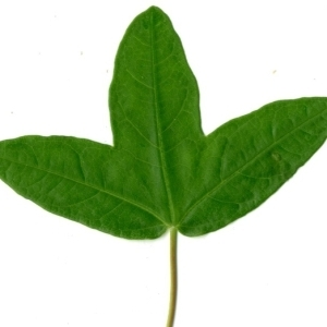 Photographie n°154386 du taxon Acer monspessulanum L. [1753]
