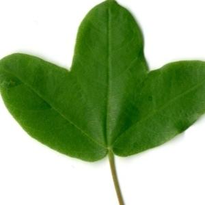 Photographie n°154387 du taxon Acer monspessulanum L. [1753]