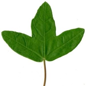 Photographie n°154388 du taxon Acer monspessulanum L. [1753]