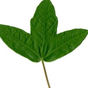 Photographie n°154389 du taxon Acer monspessulanum L. [1753]