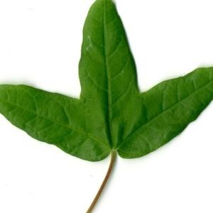 Photographie n°154395 du taxon Acer monspessulanum L. [1753]