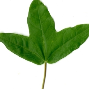 Photographie n°154397 du taxon Acer monspessulanum L. [1753]
