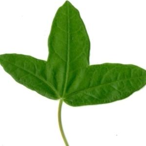 Photographie n°154398 du taxon Acer monspessulanum L. [1753]