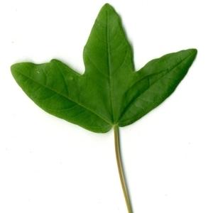 Photographie n°154399 du taxon Acer monspessulanum L. [1753]