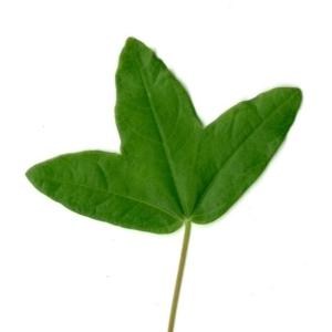Photographie n°154400 du taxon Acer monspessulanum L. [1753]
