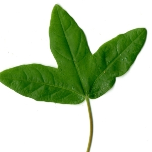 Photographie n°154401 du taxon Acer monspessulanum L. [1753]