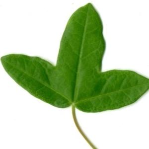 Photographie n°154402 du taxon Acer monspessulanum L. [1753]