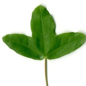 Photographie n°154403 du taxon Acer monspessulanum L. [1753]