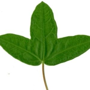 Photographie n°154404 du taxon Acer monspessulanum L. [1753]
