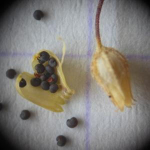 - Arenaria leptoclados (Rchb.) Guss. [1844]