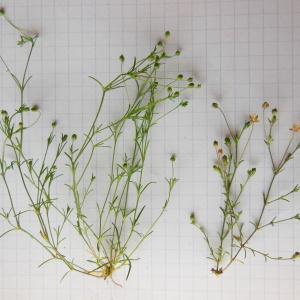 Photographie n°154612 du taxon Minuartia tenuifolia (L.) Hiern [1899]