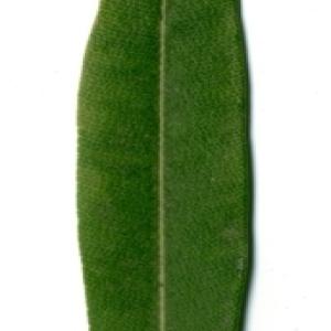 Photographie n°154726 du taxon Nerium oleander L. [1753]