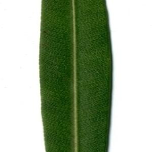 Photographie n°154733 du taxon Nerium oleander L. [1753]