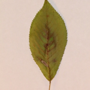 Photographie n°154777 du taxon Prunus avium (L.) L. [1755]