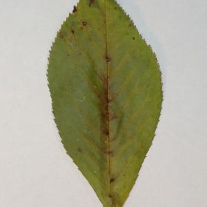 Photographie n°154780 du taxon Prunus avium (L.) L. [1755]