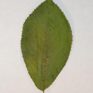 Photographie n°154781 du taxon Prunus avium (L.) L. [1755]