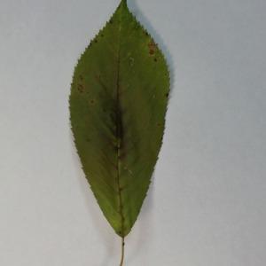 Photographie n°154782 du taxon Prunus avium (L.) L. [1755]