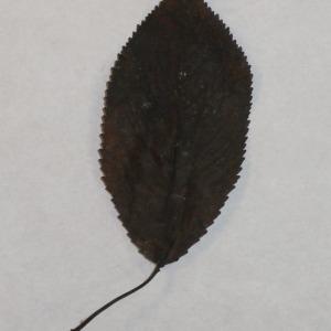 Photographie n°154785 du taxon Prunus avium (L.) L. [1755]