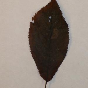 Photographie n°154786 du taxon Prunus avium (L.) L. [1755]