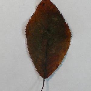 Photographie n°154789 du taxon Prunus avium (L.) L. [1755]