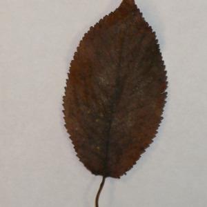Photographie n°154791 du taxon Prunus avium (L.) L. [1755]