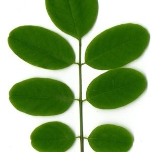 Photographie n°154858 du taxon Robinia pseudoacacia L.