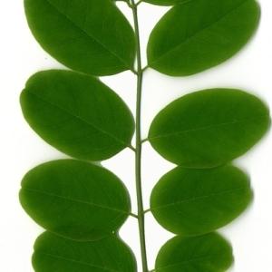 Photographie n°154859 du taxon Robinia pseudoacacia L.