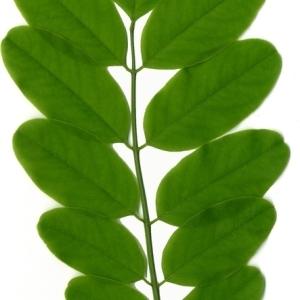 Photographie n°154860 du taxon Robinia pseudoacacia L.
