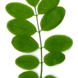 Photographie n°154861 du taxon Robinia pseudoacacia L.