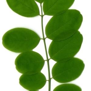 Photographie n°154863 du taxon Robinia pseudoacacia L.