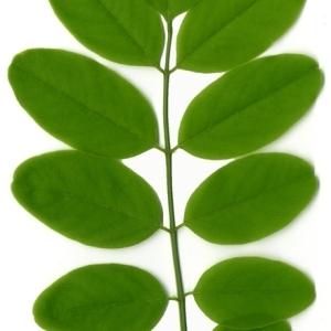Photographie n°154864 du taxon Robinia pseudoacacia L.