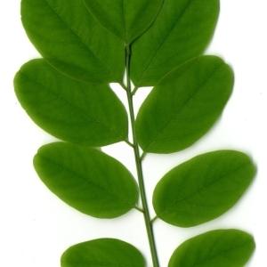 Photographie n°154865 du taxon Robinia pseudoacacia L.