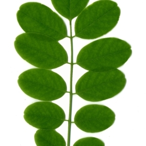 Photographie n°154887 du taxon Robinia pseudoacacia L.