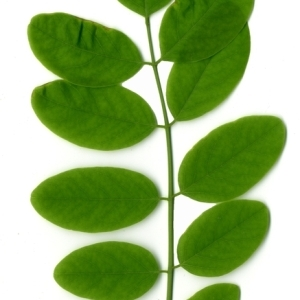 Photographie n°154888 du taxon Robinia pseudoacacia L.