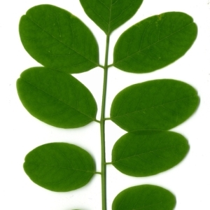 Photographie n°154890 du taxon Robinia pseudoacacia L.