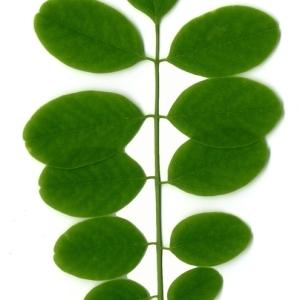 Photographie n°154892 du taxon Robinia pseudoacacia L.